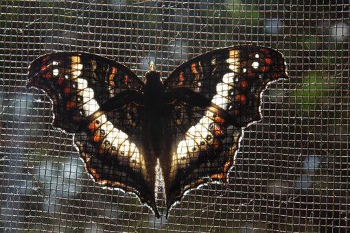 Espèces de papillons rare - Faune Tsarasoa Lodge