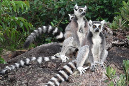 Lémur catta - Park Tsarasoa Lodge