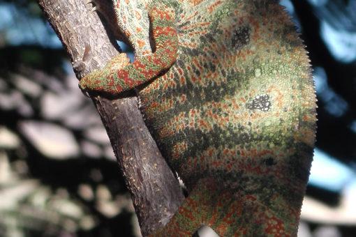 Espèces de caméléons - Tsarasoa Lodge Madagascar