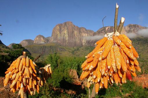 Maïs - Paysage Tsarasoa Lodge Madagascar