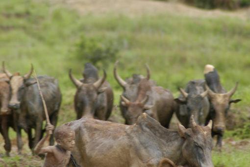 Gardien de troupeaux de zébus - Tsarasoa Lodge